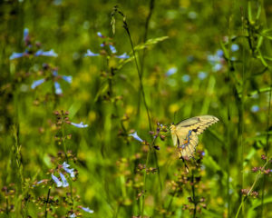 Small_Butterfly