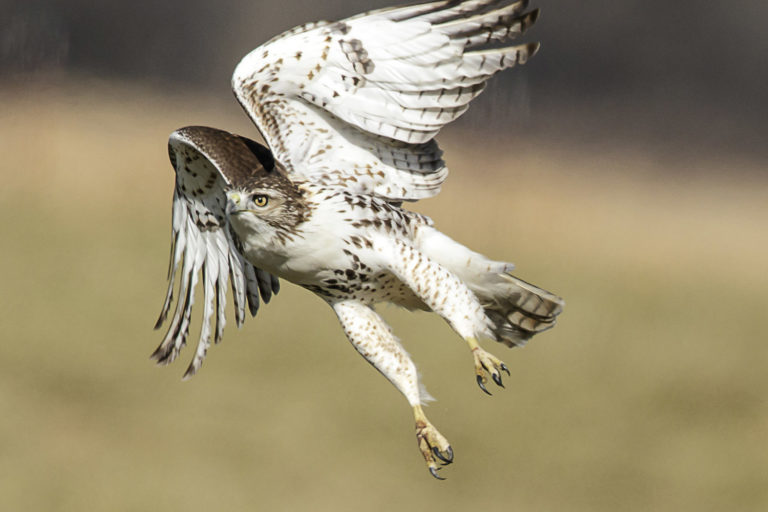 hawk take off